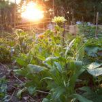 Ásó, kapa, gereblye: közösségi kertek Magyarországon