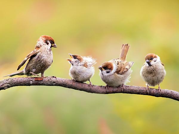 madár-vréb