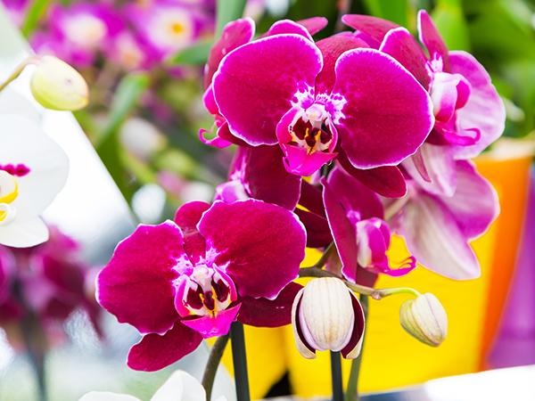 orchidea-virag