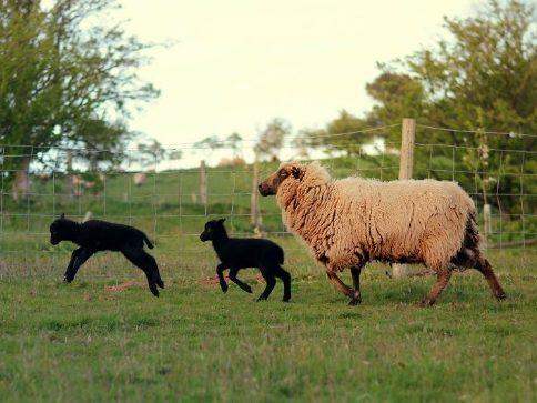 lambs-2-59242d19db54b__880