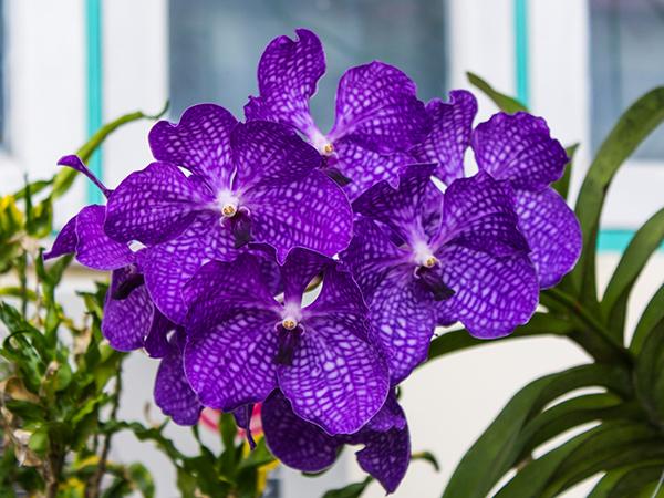 vanda-orchidea